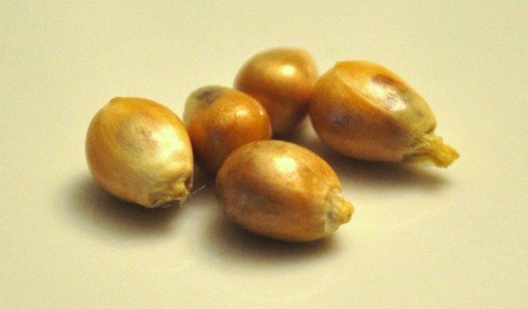 Five Kernels of Corn